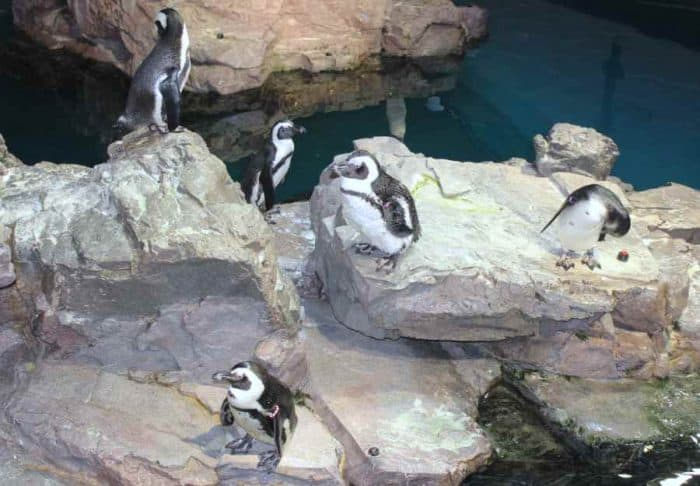 Five black and white fuzzy penguins standing on large gray colored rocks