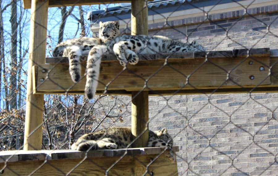 Tigers sitting on a wooden post at the Cleveland Zoo