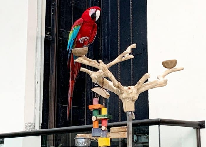 Large red parrot with blue feather sitting on a wooden perch