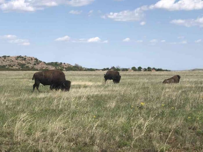 Prairie grass with wildlife grazing in Oklahoma.