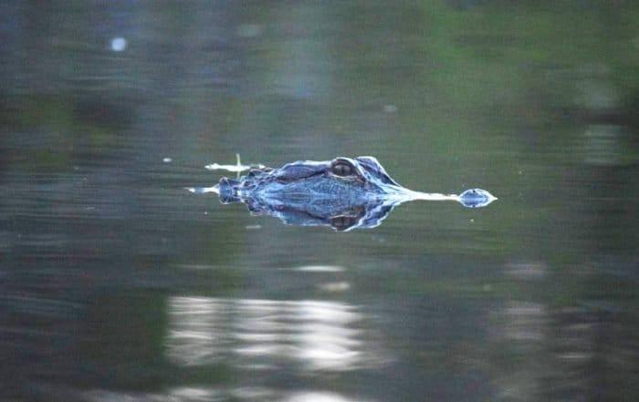 Crocodile head peeking out of the dark water in Florida.