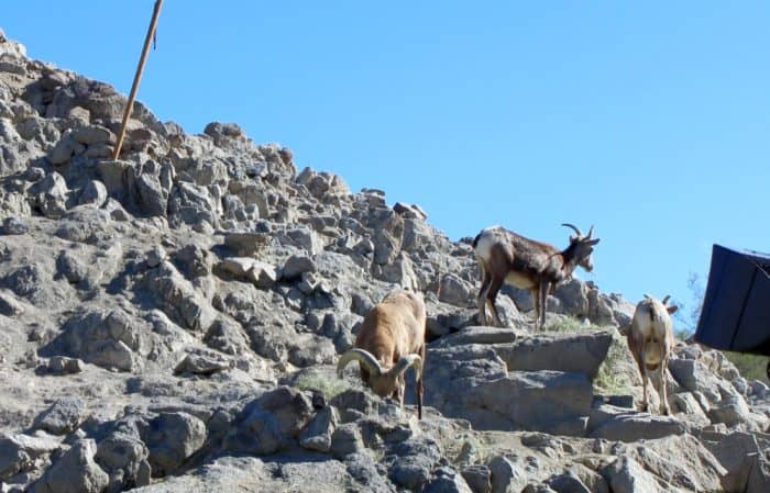 Goats on a rocky mountain at The Living Desert